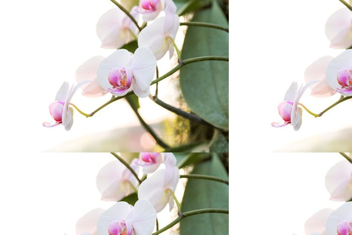 Tapeta Pixerstick Bílá orchidej Phalaenopsis - Květiny