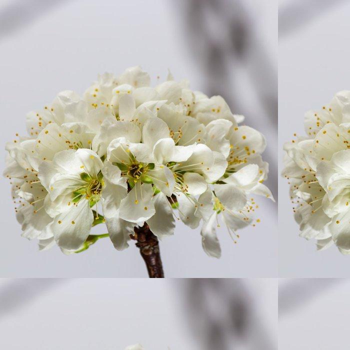 Vinylová Tapeta Bílá třešňového květu sakura - Roční období
