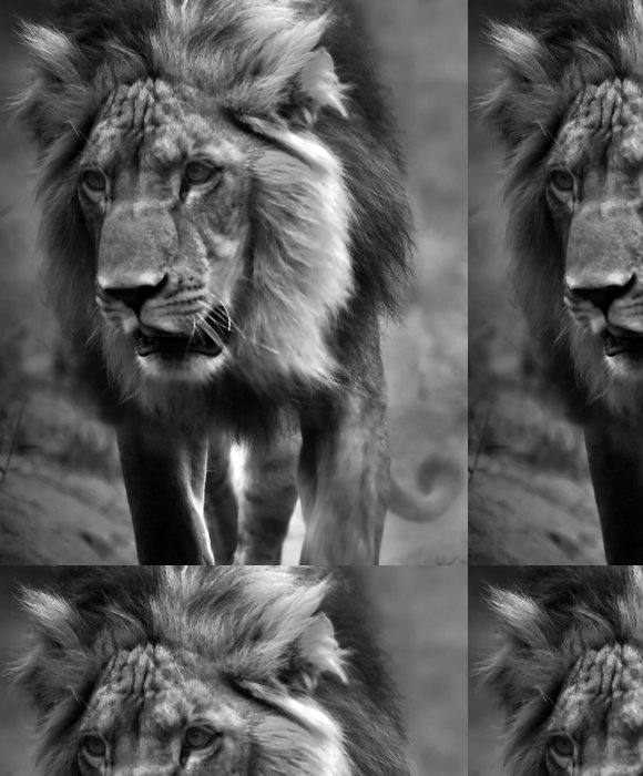 Tapeta Pixerstick Black And White Lion - Afrika