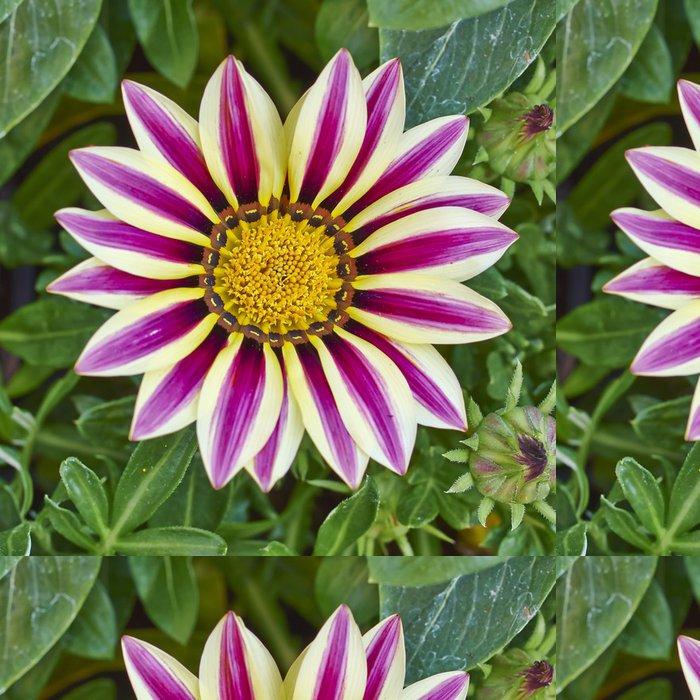 Tapeta Pixerstick Bledá a fialové barevné tygr gazania květina - Květiny
