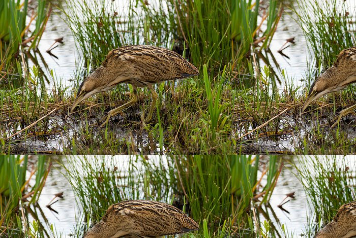 Tapeta Pixerstick Bukač plíživé - Ptáci