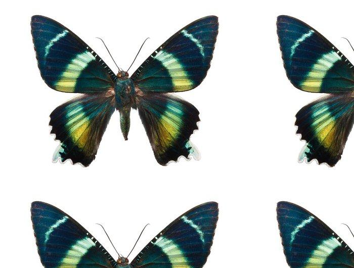 Tapeta Pixerstick Butterfly Alcides argathyrsus - Ostatní Ostatní