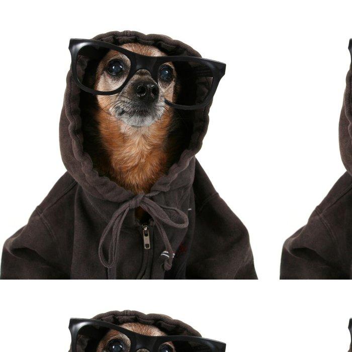 Tapeta Pixerstick Čivava na sobě mikinu a brýle - Savci