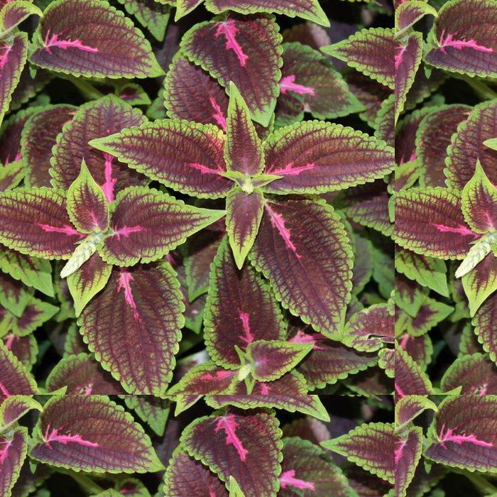 Tapeta Pixerstick Coleus nebo malované kopřiva - Rostliny