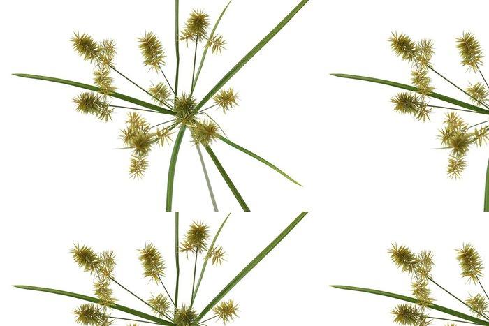 Tapeta Pixerstick Deštník ostřice - Rostliny