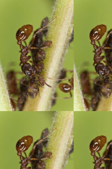 Vinylová Tapeta Evropská požární mravenec (Myrmica rubra) sklizeň mšicemi - Ostatní Ostatní
