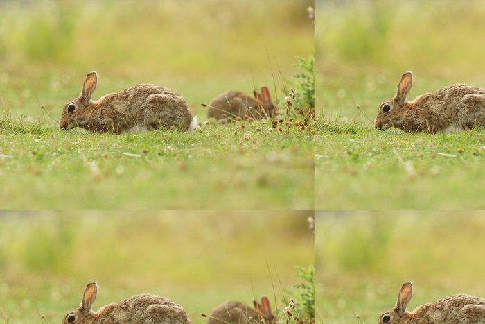 Tapeta Pixerstick Evropský králík, společný králík, zajíc, Oryctolagus cuniculus - Savci
