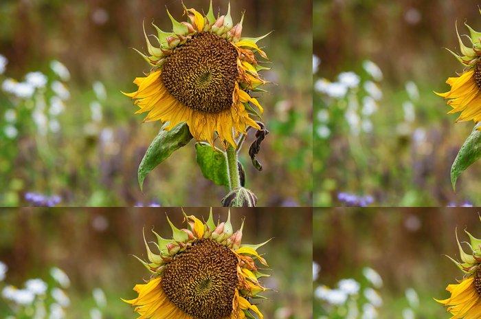 Tapeta Pixerstick Faded slunečnice proti přírodním podzim pozadí - Roční období
