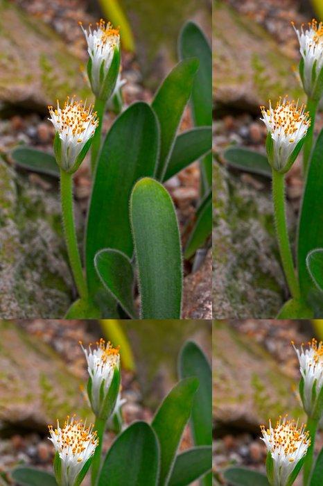 Tapeta Pixerstick Haemanthus humilis poddruh hirsutus, kvetoucí - Květiny
