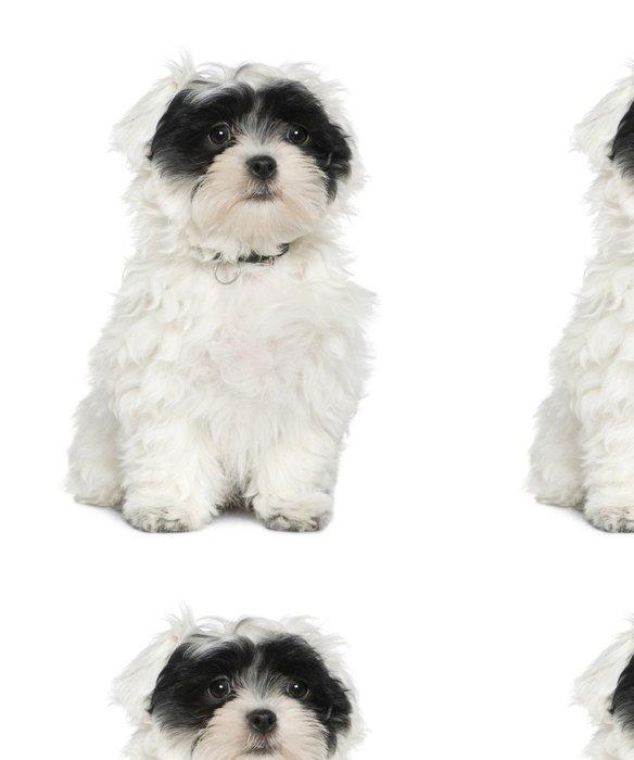 Tapeta Pixerstick Havanese štěně, 3 měsíce stará, -