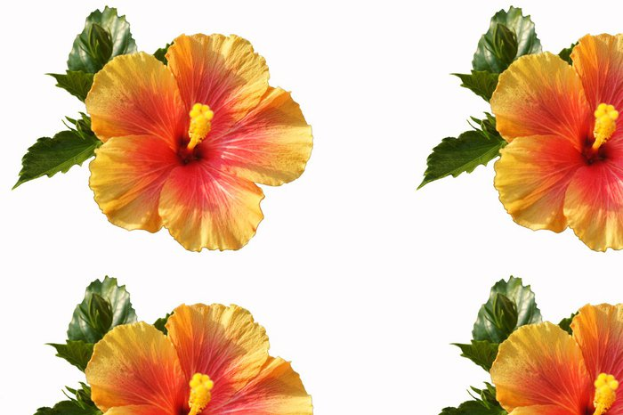 Tapeta Pixerstick Hibiskus - Květiny
