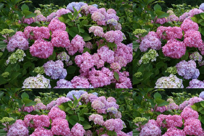 Vinylová Tapeta Hortensia bleu vert růže květ zoom belle dehors fond - Květiny