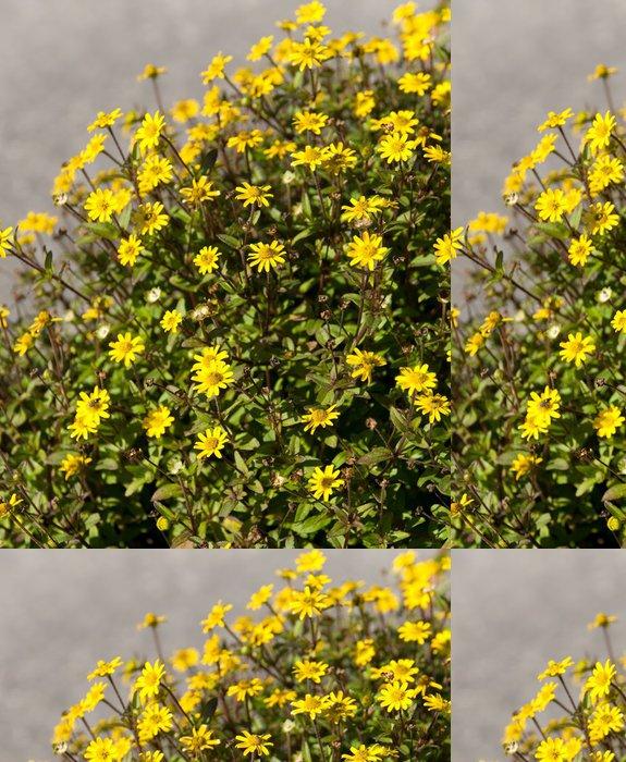 Tapeta Pixerstick Husarenknöpfchen, Sanvitalia procumbens, Sommerblumen - Roční období