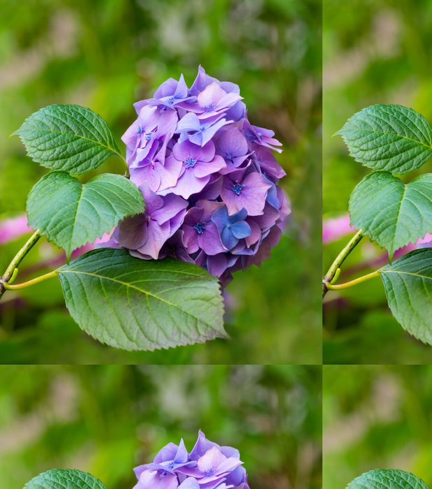 Tapeta Pixerstick Hydrangea květiny - Květiny