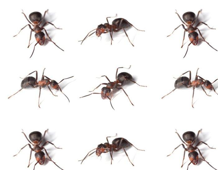 Vinylová Tapeta Jízda na mravenci na bílém pozadí. - Ostatní Ostatní