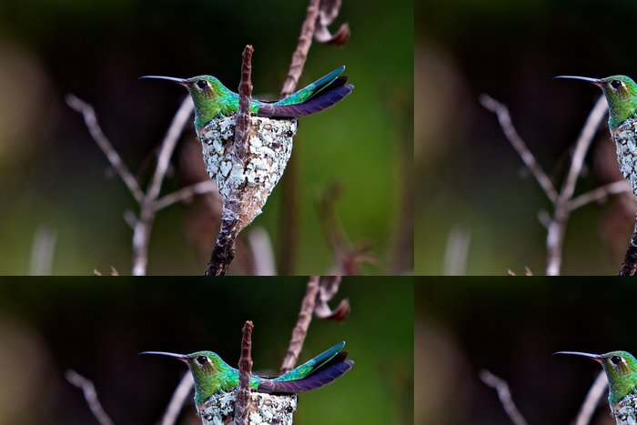 Tapeta Pixerstick Kolibřík pták v hnízdě - Amerika