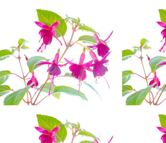 Vinylová Tapeta Kompaktní fuchsie na bílém pozadí - Květiny