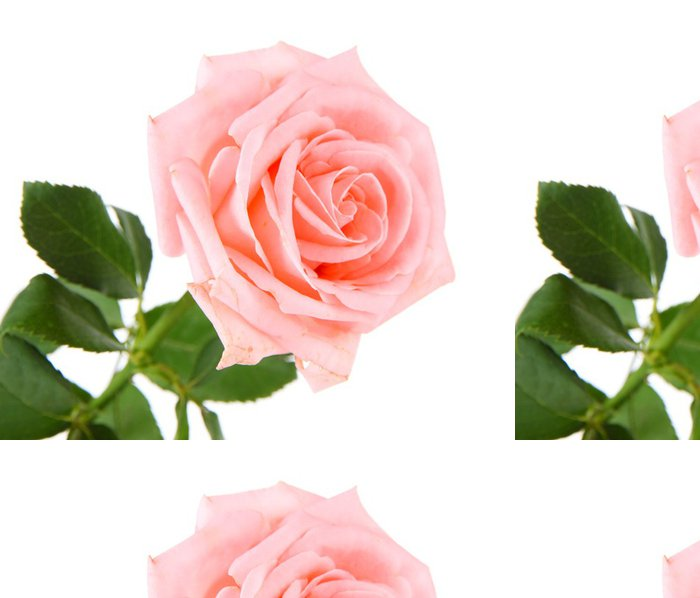 Tapeta Pixerstick Krásná růže izolovaných na bílém - Témata