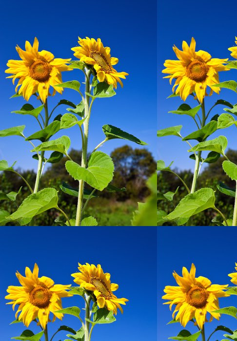 Tapeta Pixerstick Krásné slunečnice proti modré obloze - Témata