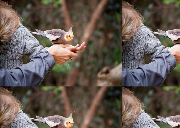 Tapeta Pixerstick Krmení korela papouška. - Ptáci