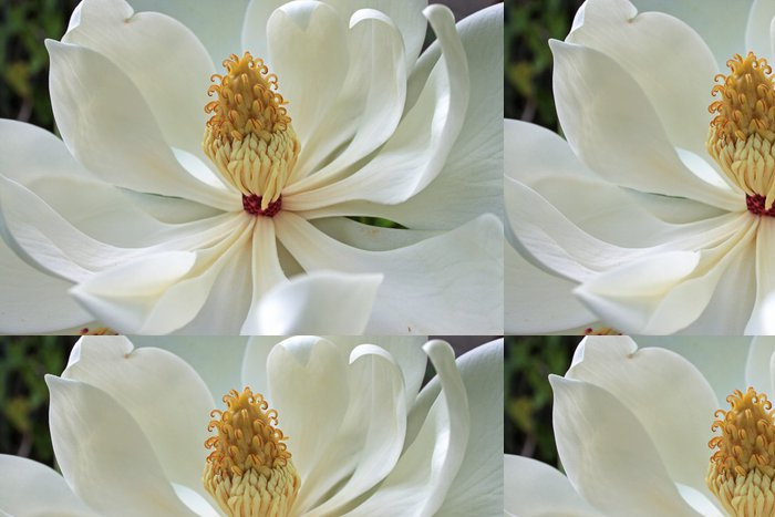 Tapeta Pixerstick Květ magnólie - Květiny