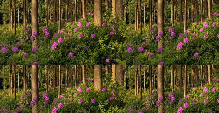 Vinylová Tapeta Kvetoucí rododendrony, Dorset, Velká Británie - Outdoorové sporty