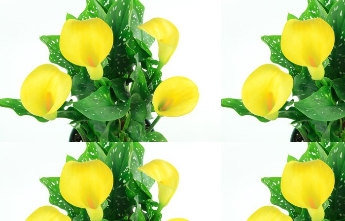 Tapeta Pixerstick Kytice žlutých kala, - Rostliny