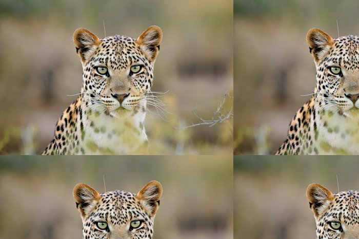 Tapeta Pixerstick Leopard portrét, Kalahari poušť, Jižní Afrika - Savci