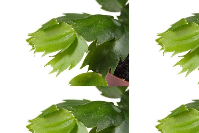 Tapeta Pixerstick Makro záběr Zygocactus, foto na bílém pozadí - Rostliny