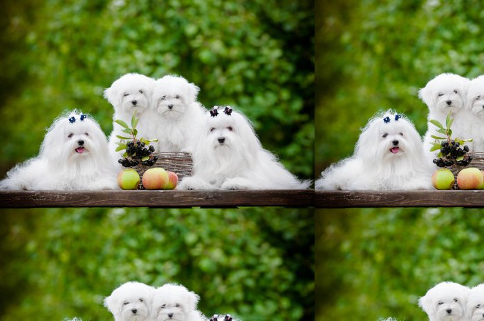 Tapeta Pixerstick Maltské psi rodina - Savci