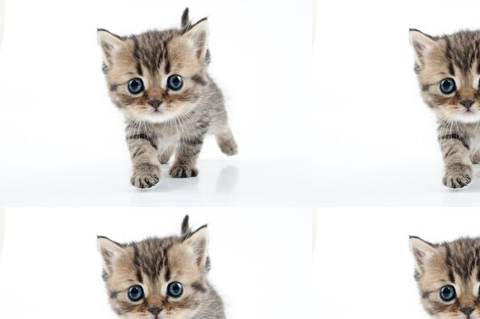 Tapeta Pixerstick Malý skotský rovně kotě chůzi směrem k - Savci