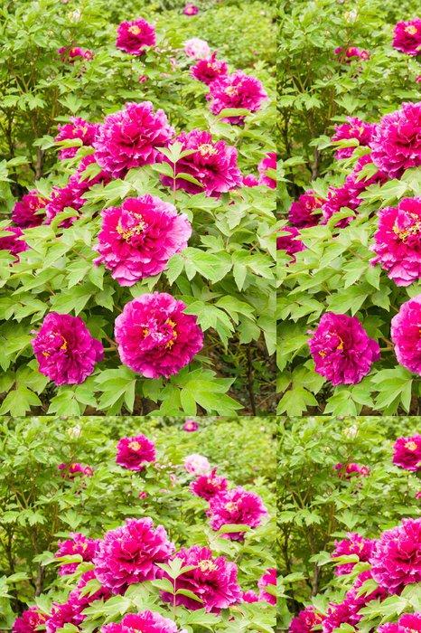 Tapeta Pixerstick Mauve pivoňka květinová zahrada - Květiny