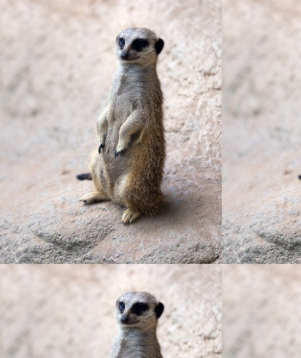 Tapeta Pixerstick Meerkat - Savci