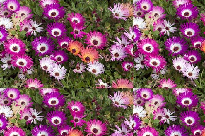 Tapeta Pixerstick Mittagsblume; Dorotheanthus bellidiformis - Květiny