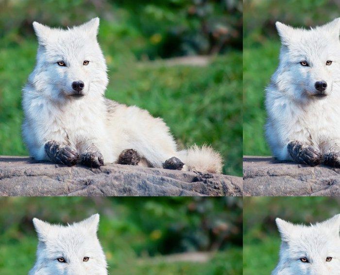 Vinylová Tapeta Mladý Arktida vlk vleže na podzimní den - Témata