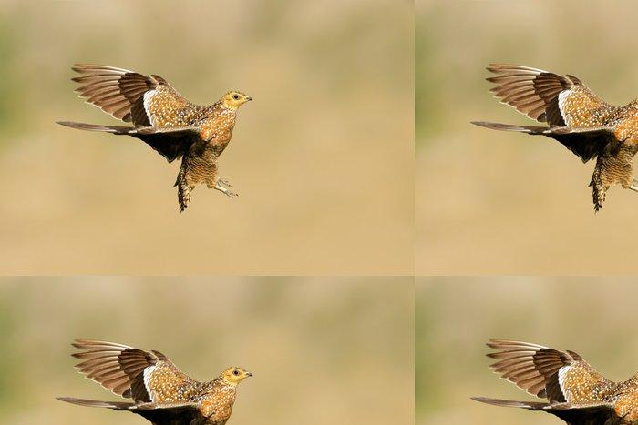 Tapeta Pixerstick Namaqua stepokur (Pterocles Namaqua), Jižní Afrika - Ptáci