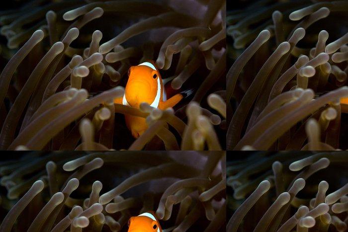 Tapeta Pixerstick Nemo anemone ryby Indonésie Sulawesi - Vodní a mořský život