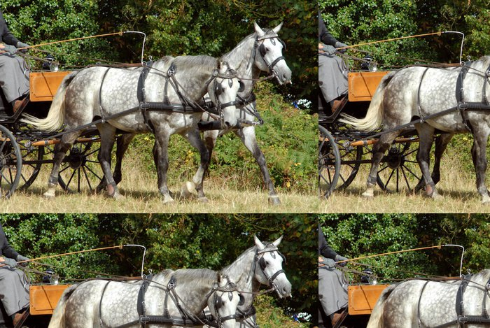 Tapeta Pixerstick Pár šedých koní v zápřeži - Savci