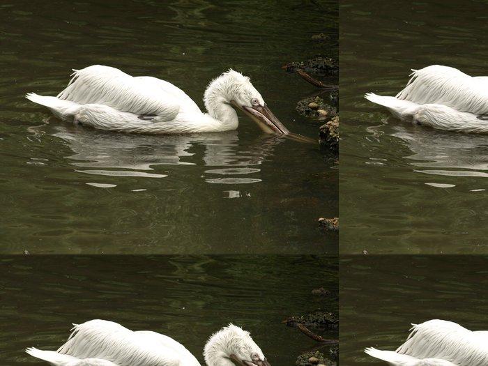 Tapeta Pixerstick Pelikán krmení - Největší Pelican druh - Ptáci