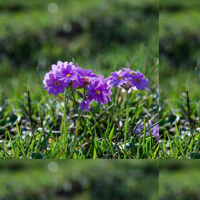 Vinylová Tapeta Pink Primula - Květiny