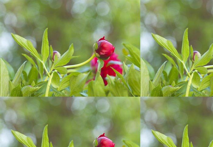 Tapeta Pixerstick Pivoňka květ růst, odrazy v pozadí - Květiny