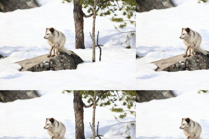 Tapeta Pixerstick Polarfuchs - Savci