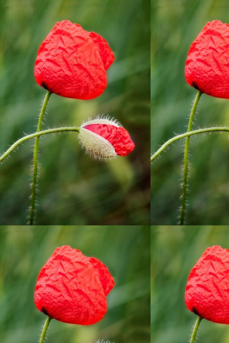 Tapeta Pixerstick Poppy a Bud - Témata