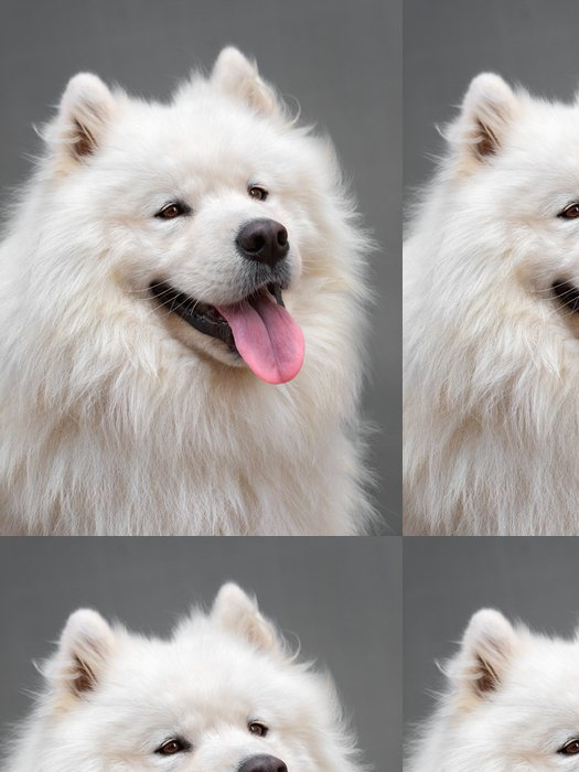 Vinylová Tapeta Portrét OFL pes - Samoyed - Savci