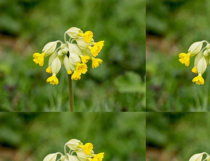 Tapeta Pixerstick Prvosenka jarní - Květiny