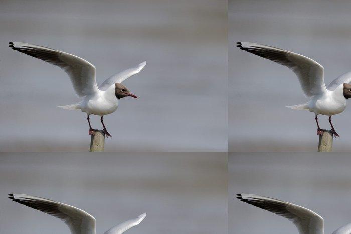 Tapeta Pixerstick Racek chechtavý - Larus ridibundus - Ptáci