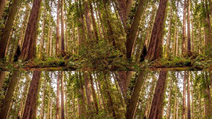 Tapeta Pixerstick Redwood forest - Příroda a divočina