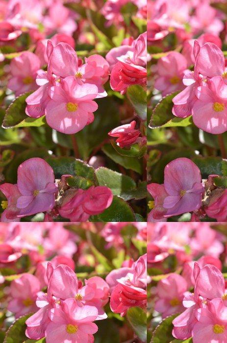 Tapeta Pixerstick Růžová begónie květ rostliny, selektivní zaměření - Květiny