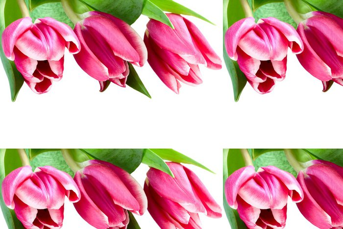 Tapeta Pixerstick Růžové tulipány na bílém pozadí, izolované - Slavnosti
