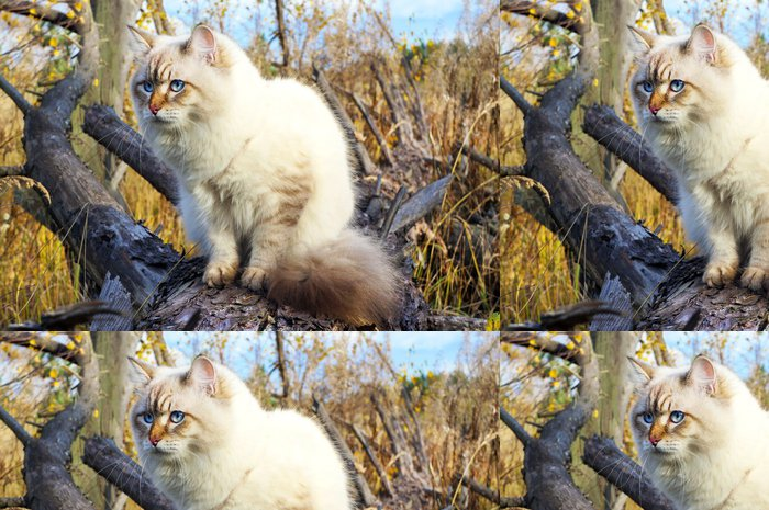 Tapeta Pixerstick Sibiřská kočka v podzimním lese - Savci
